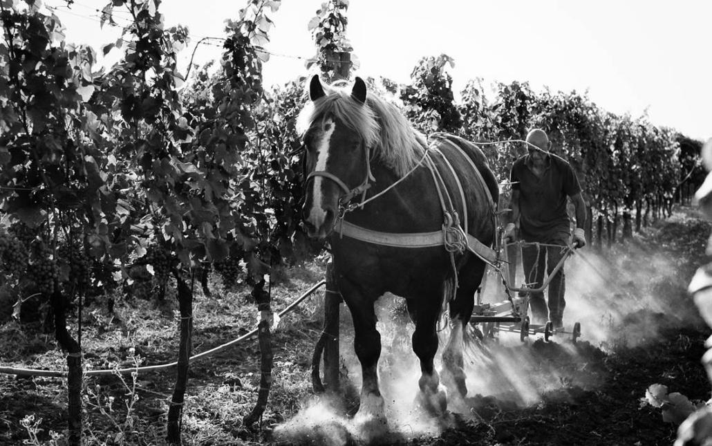marco carpineti vigna biodinamico con il cavallo