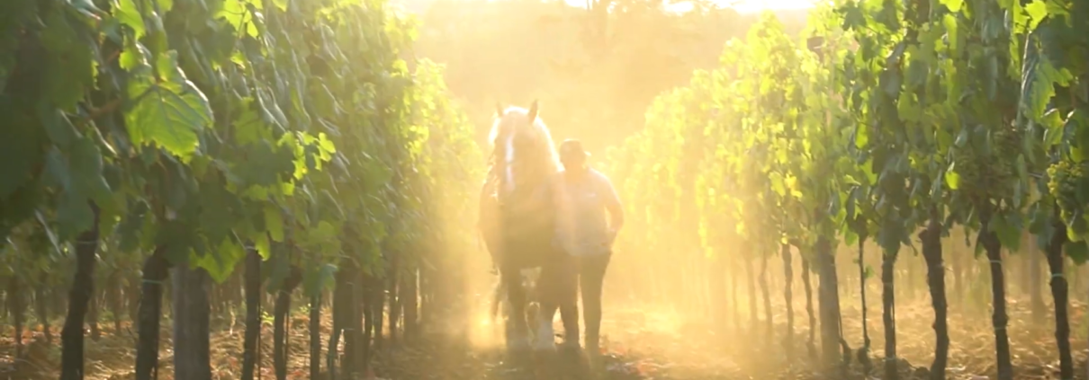 horse plowing in the vineyards of Marco Carpineti
